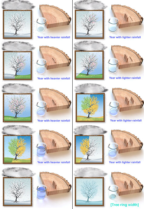 Tree ring growth and rainfall