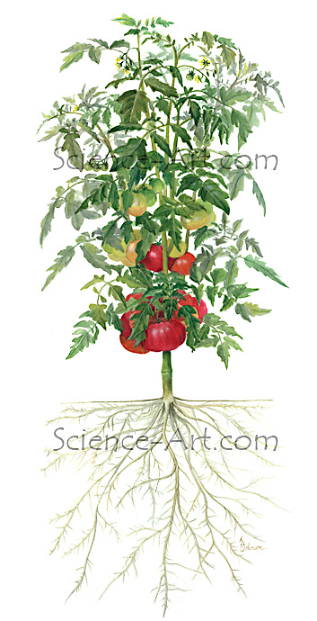Grafted Tomato plant illustration