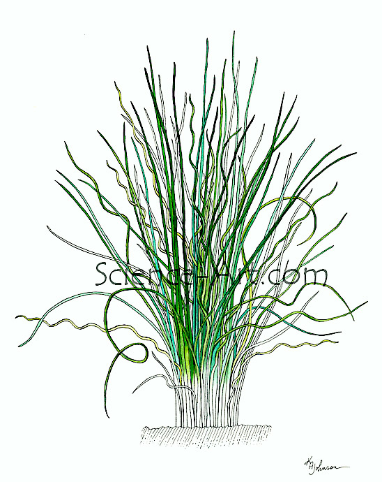 Juncus Grass illustration