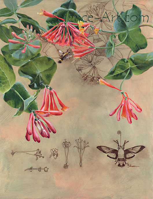 Brought to Life: Honeysuckle and Clearwing