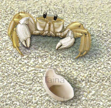 Ghost Crab and Slipper shell