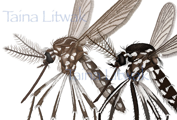 Zika carriers - Aedes alboictus and aegypti