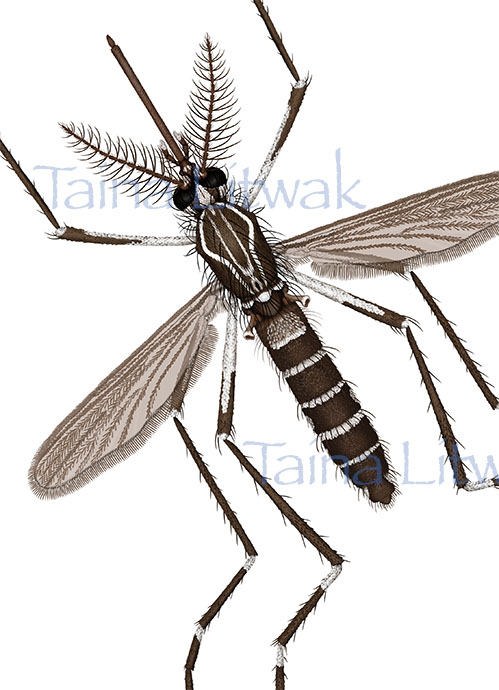 Zika carrier Mosquito - Aedes aegypti
