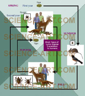 Life Cycle of the Lyme Disease Tick