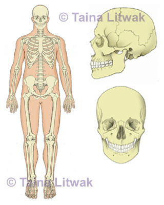 Skeletal system and skull detail