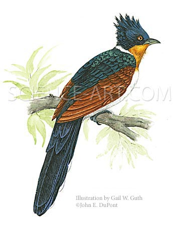 Chestnut-winged Cuckoo, detail