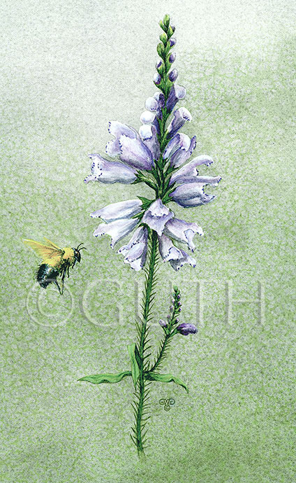 Bee and physostegia
