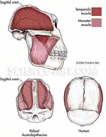 Jaw Muscles Of Australopithecus Robustus Illustrationscience Art