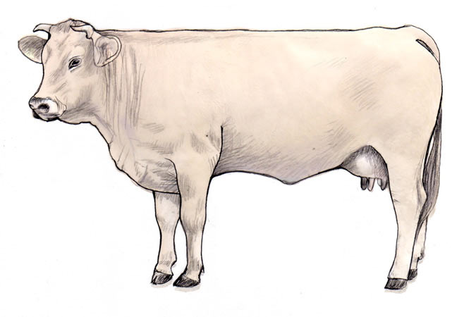 Cattle (colloquially cow)