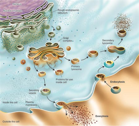 Endomembrane System in Eukaryotic Cell