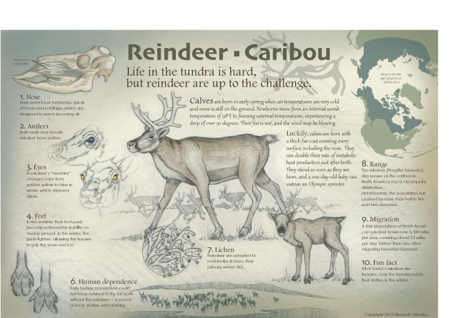 The Reindeer-Caribou