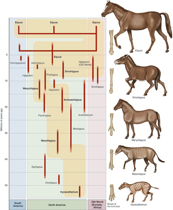 the theory of evolution the horse Discussion on what happened to the horse in regards to its so called 'evolution' did horses evolve from a small fox-like animal  the theory of horse evolution has.