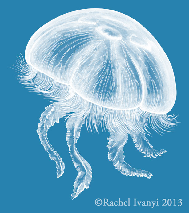 Moon Jelly