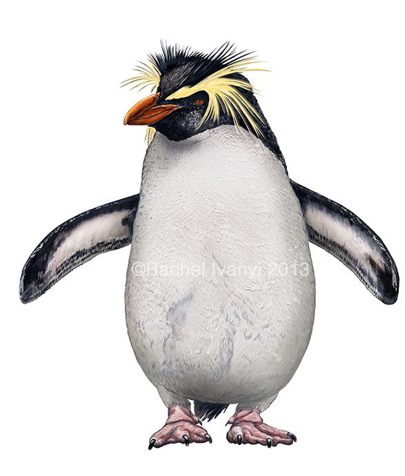 Northern Rockhopper