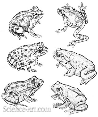 Amphibians from the Sonoran Desert