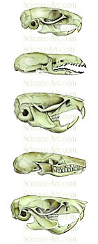 Small Mammal Skull Comparison