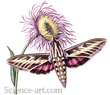 Sphinx Moth and Thistle