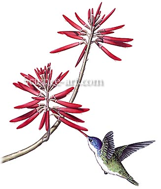 Violet-crowned Hummingbird with Coral Bean