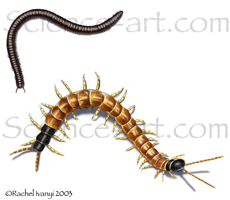 Millipede and Centipede