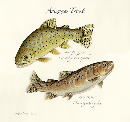 Arizona Trout