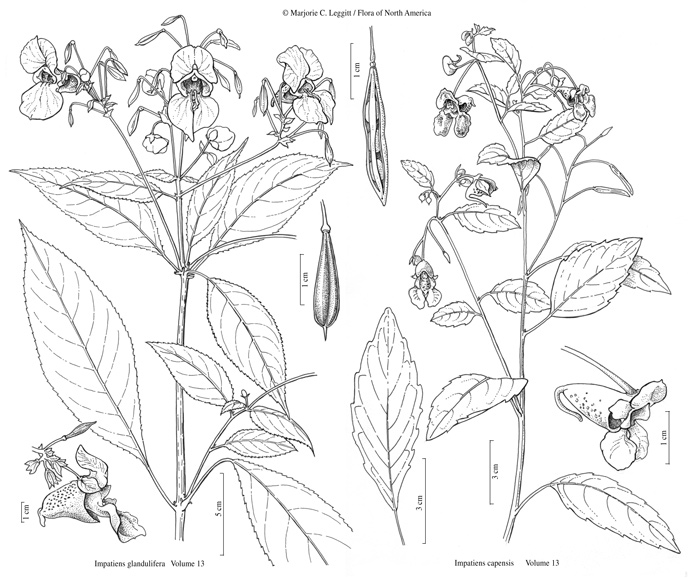 Flora of North America (FNA) v 13 - Impatiens