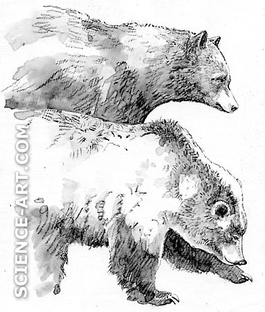 Black Bear and Grizzly Bear in Yellowstone