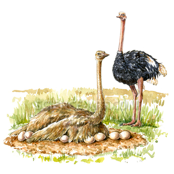 Ostrich - male and female (Struthio camelus)