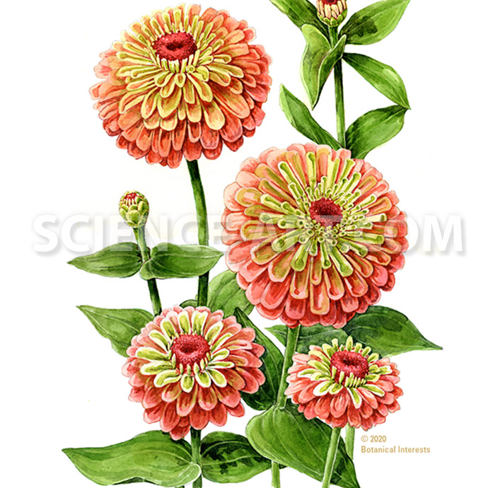 Queeny Red Lime Zinnia