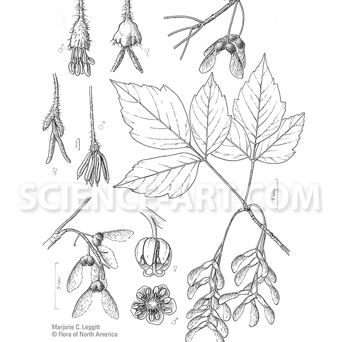 Maples for Flora of North America