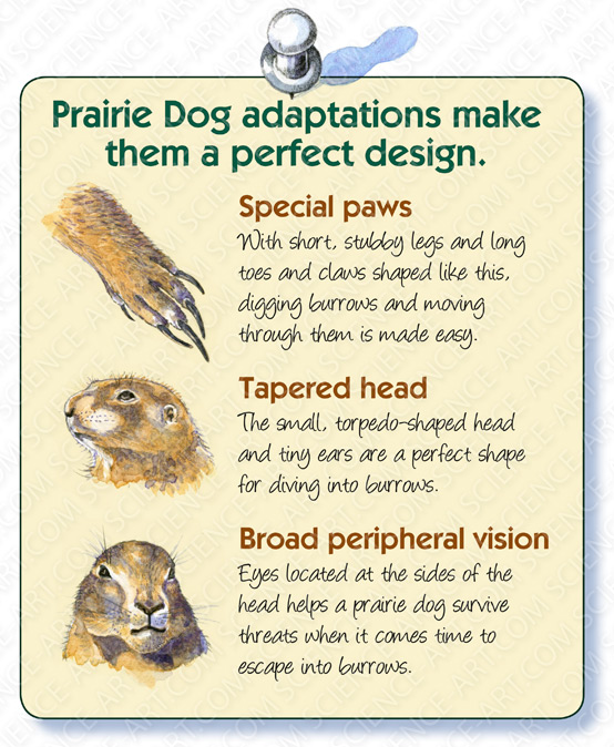 Black-tailed Prairie Dog Adaptations