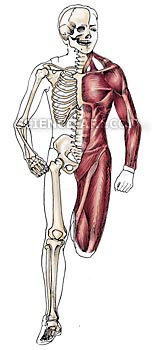 human anatomy - skeleton and muscles - illustration@science-art, Skeleton