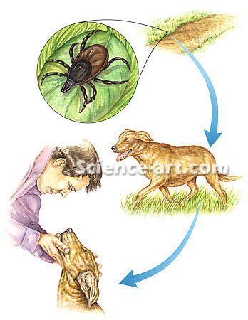 Tick Borne Disease Cycle
