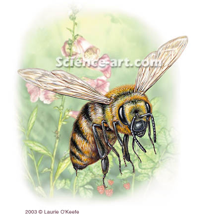 Killer Bee- <i>Apis mellifera scutellata</i>