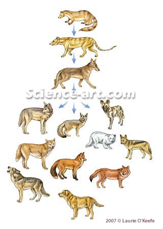 Canine Evolutionary Tree