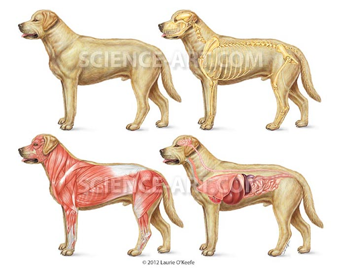 Dog anatomy-skeletal, muscular, internal