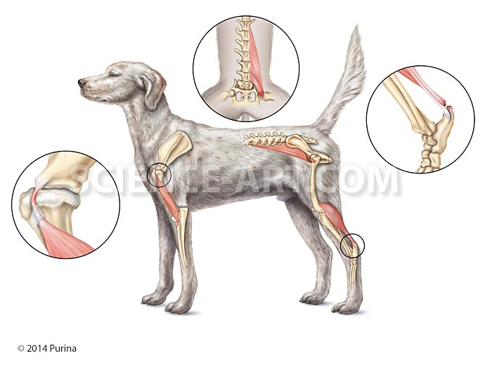 Common injury sites in sporting dogs