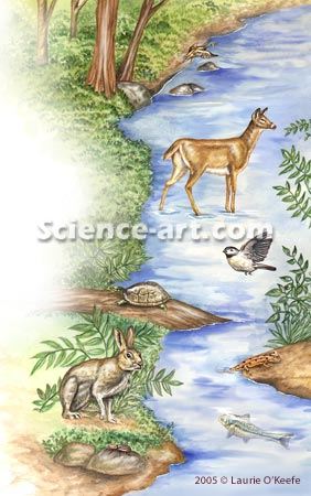 Wildlife in stream habitat