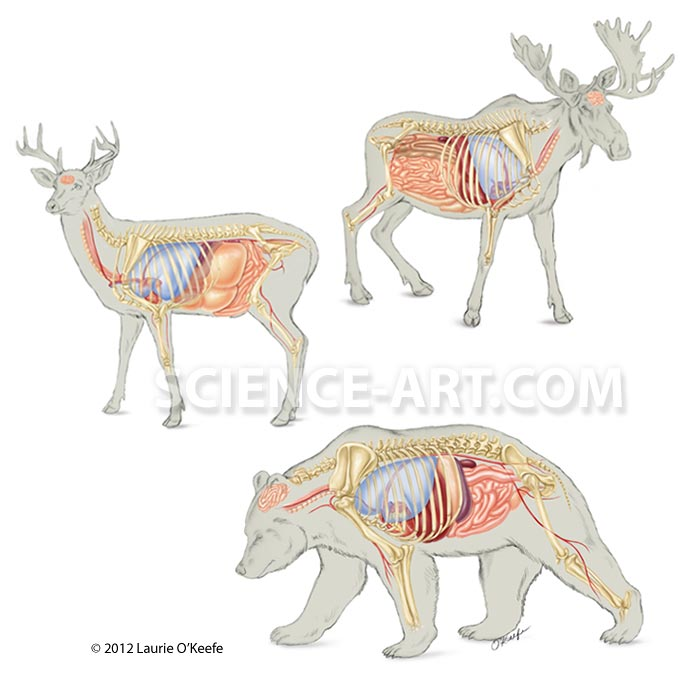 Internal anatomy of the deer, moose and bear