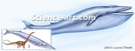 Blue Whale compared to dinosaur and human