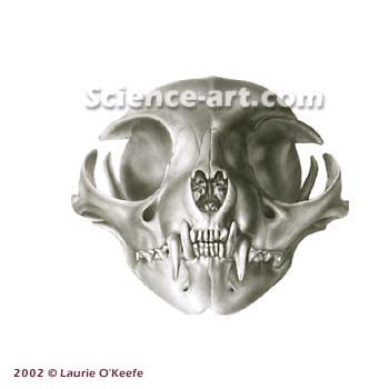Cranial View of Cat Skull