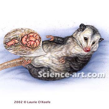 Virginia opossum (Didelphis virginiana) - Illustration ...