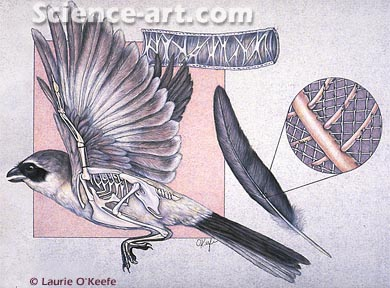 Bird Skeletal and Feather Anatomy