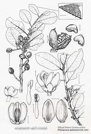 Botanical plate for Kew