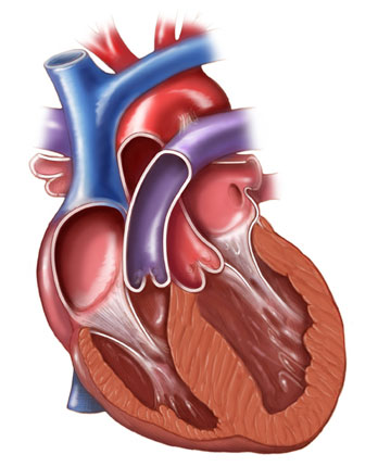 Coronal Section of the Heart