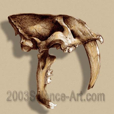 <i>Smilodon</i> -- Sabertooth Cat Skull