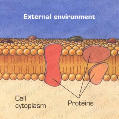 Cell Membrane Illustration