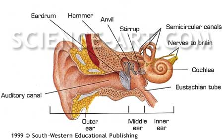 Internal Ear Anatomy