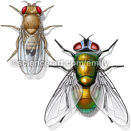 Fruit fly and Common Green Bottle Fly