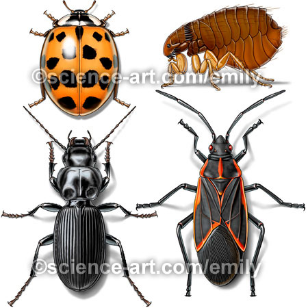 ladybug, flea, ground beetle, & box elder bug