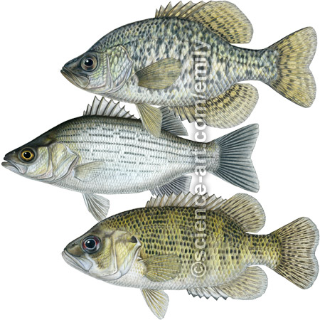 Black Crappie, White Bass, and Rock Bass